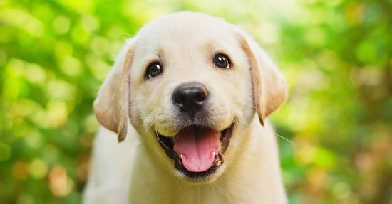 happy labrador