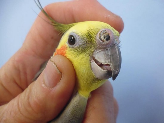 Cockatiels pet