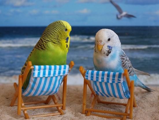 Parakeets budgies pets