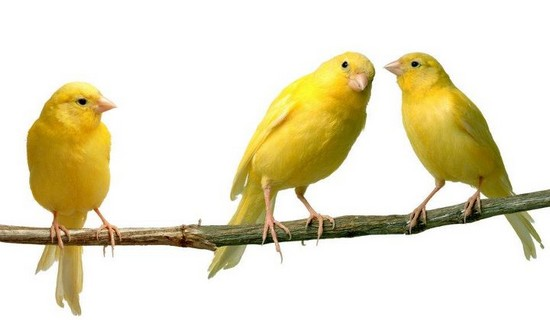 canaries pets