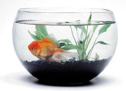 Youtube Cat In Goldfish Bowl
