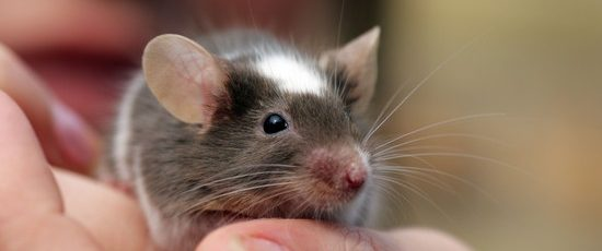 The Ultimate Guide to Keeping Mice as Pets