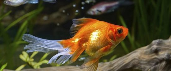 The Guide to Keeping Healthy and Happy Goldfish
