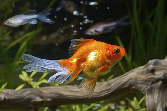 Healthy and Happy Goldfish