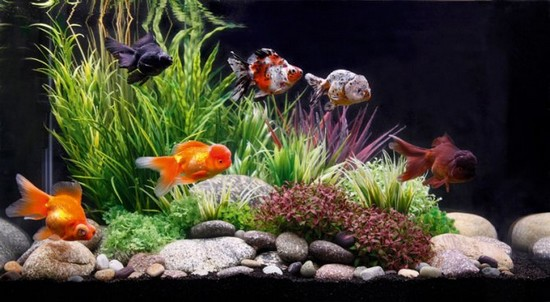 home environment for a goldfish
