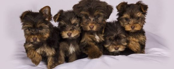 Things To Consider Before Looking At Puppies For Sale