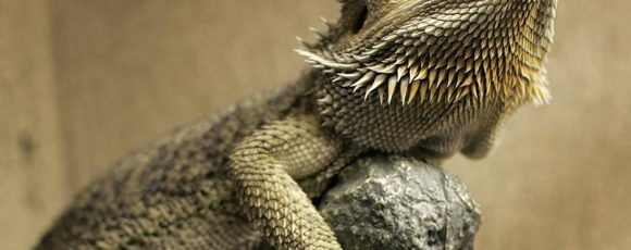 How to Care for your Bearded Dragon Pet