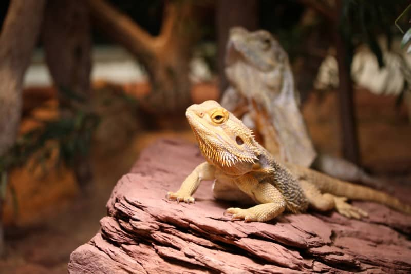 Creating the Perfect Environment for your bearded pet dragon
