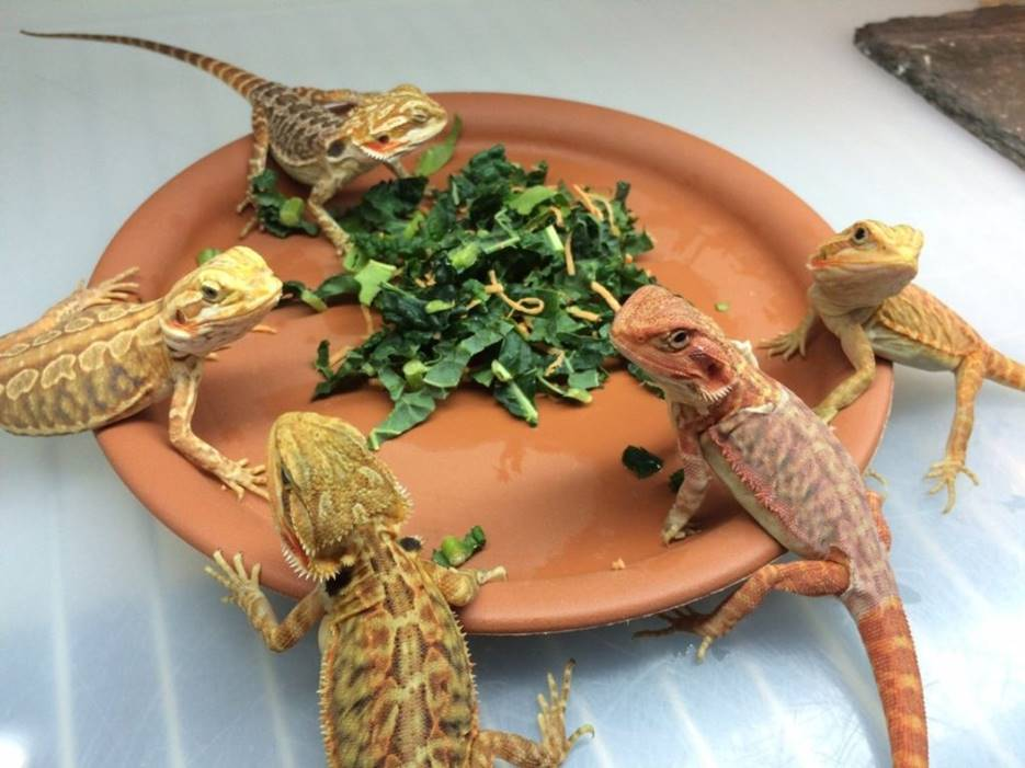 Serving the Right Diet to yoru bearded pet dragon