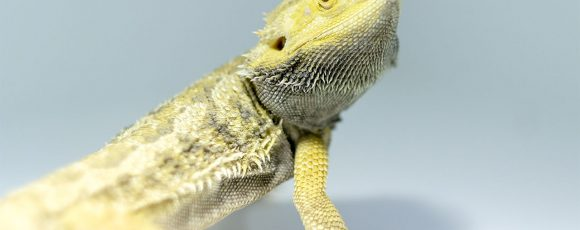 Bearded Dragon for Beginners – Frequently Asked Questions