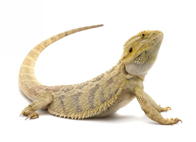 most asked questions about bearded dragons