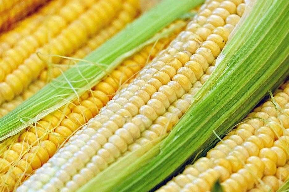 is corn bad for dogs?